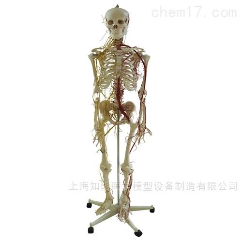 人体动脉与神经分布骨骼结构模型