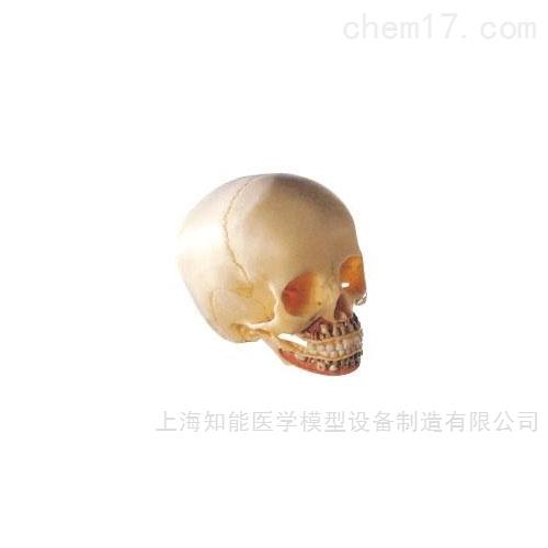 <strong>儿童头颅骨骨骼模型</strong>
