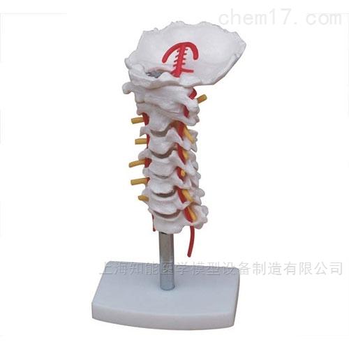 颈椎骨骼模型