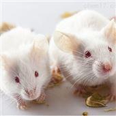 小鼠膽結石模型實驗
