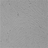 SNL-008BHK-21(仓鼠肾成纤维细胞)
